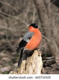 The bullfinch with a red breast sits on a stub