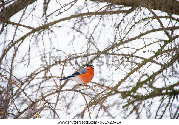 Bullfinch sits on a branch of a tree