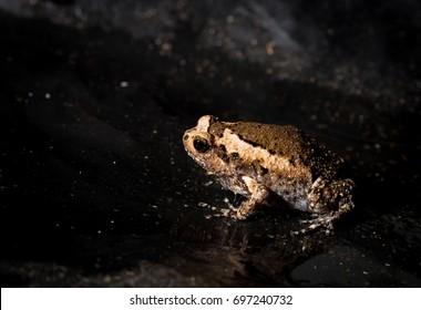 A bullfrog  brown on black plastic Floor.