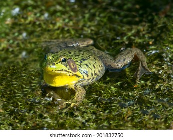 Bullfrog frog in its natural habitat