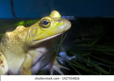 bullfrog frog yellow amphibian environmental conservation wildlife