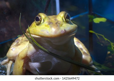 bullfrog frog yellow amphibian eye blue environmental conservation