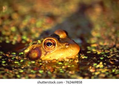 Bullfrog (Rana catesbeiana) highlighted under evening light in backwaters of the Kishwaukee River in Illinois