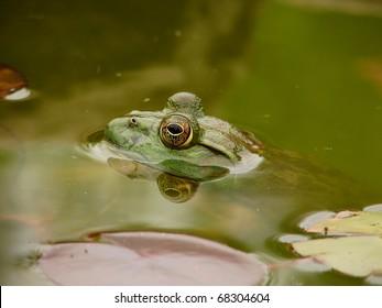 Bullfrog Surfaced in Water
