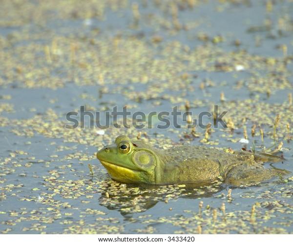 Bullfrog in a swamp.