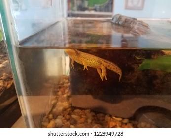 bullfrog tadpole floating in water in an aquarium
