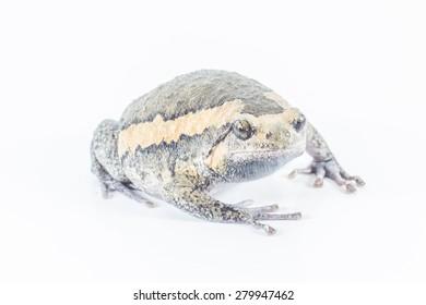 bullfrog in Thailand