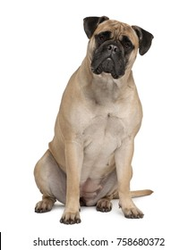 Bullmastiff, 2 years old, sitting in front of white background