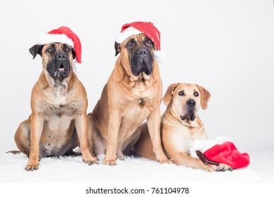 Bullmastiff and boerboel with santa´s hat sitting on white background