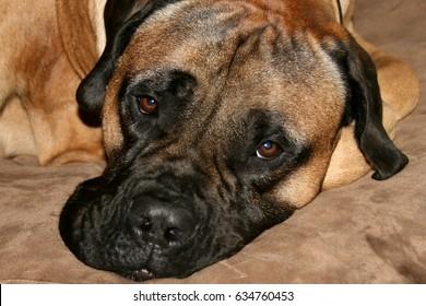 Bullmastiff Dog Face