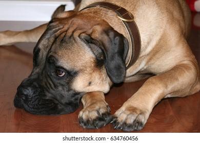 Bullmastiff Dog Laying on Floor
