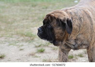 Bullmastiff dog on the prowl.