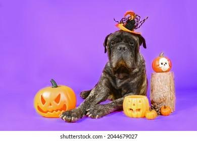 bullmastiff with halloween hat lying on the floor with halloween pumpkin isolated on purple background