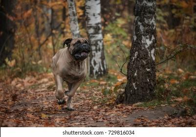 Bullmastiff running in the forest