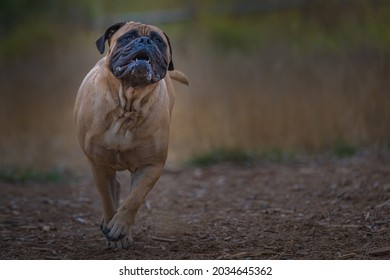 BULLMASTIFF RUNNING ON A PATH WITH A FUNNY FACIAL EXPRESSION