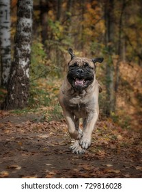 Bullmastiff is running in the park