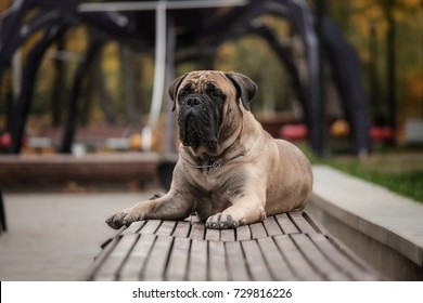 Bullmastiff waiting for his owner in the park