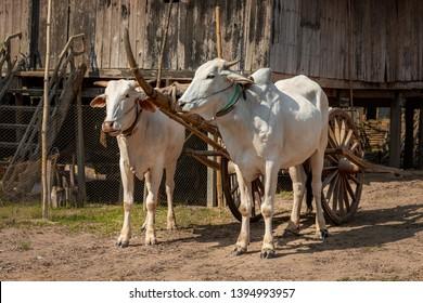 Bullock cart in Angkor Ban Village on the banks of the Mekong River, Battambang Province, Cambodia (Khmer).