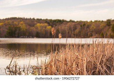 Bullrush or cat o nine tails on the edge of a lake within Burr Pond State park in torrington, connecticut on a sunny blue sky spring day.