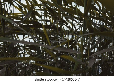 Bullrush leaves close up. Bullrushes water plant background.