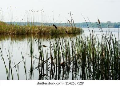 Bullrush on a spring lake.