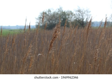 Bullrushes alongside the river Yar, Yarmouth, Isle of Wight