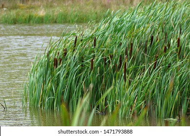 Bullrushes growing by the lake side