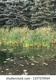 Bullrushes growing by the river edge in front of coniferous trees in Autumn. Gentle and peaceful scene. Natural serenity.