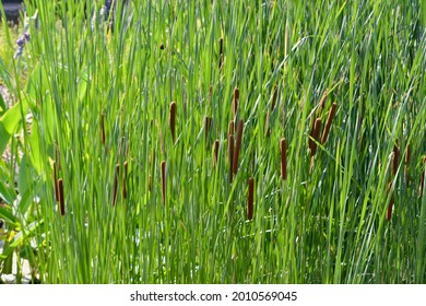 Bullrushes Leaves and Seed Heads Background