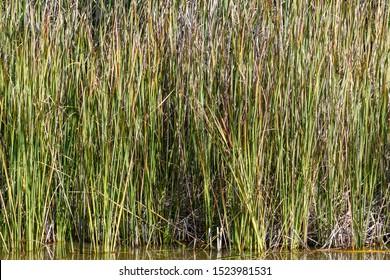 Bullrushes narrow blade in a lagoon. Typha angustifolia. Reed mace.