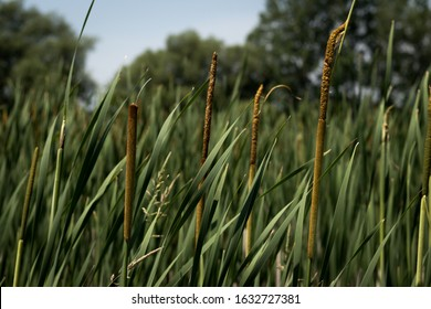 Bullrushes on a Summer Day - Kingston Ontario Canada
