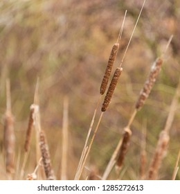 Bullrushes and reed in wetlands