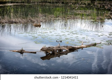 Bullrushes, reeds, water llilies, logs all live in this swamp.