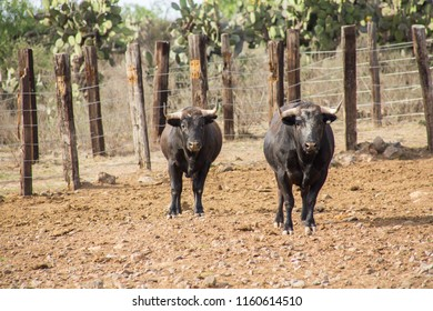 Bulls in a cattle raising ranch in mexico.