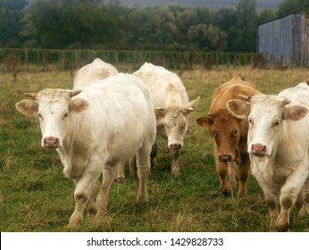 Bulls grown for slaughter for meat at grazing. European meat breeds of cattle (the livestock of a meat direction of productivity). Cattle breeding in France - Charolais white cow breed