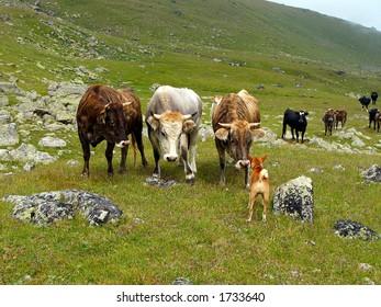 Bulls Meeting Dog