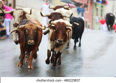 Bulls are running in street during festival