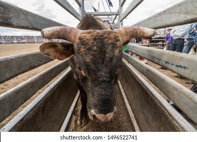 Bulls waiting to ride, rodeo