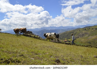 the bulls or Yunta, contributing to the Andean agriculture, thanks to them 100 land preparation is carried out