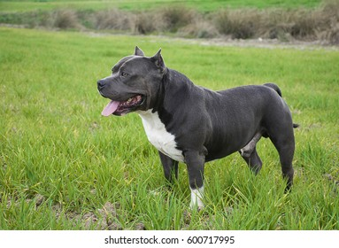 bully dog in the park look