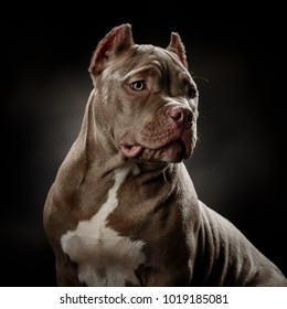 Bully dog portrait on a dark grey background