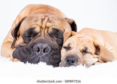 Bulmastiff and boerboe puppyl sleeping on white carpet