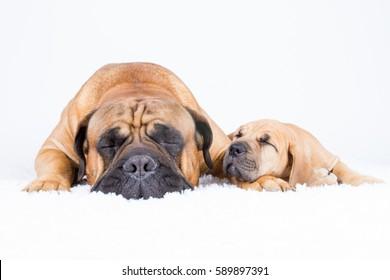 Bulmastiff and boerboel friends sitting on white background