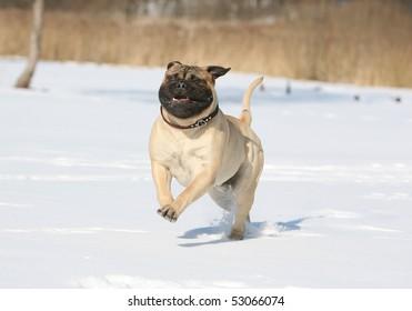 Bulmastiff in the snow
