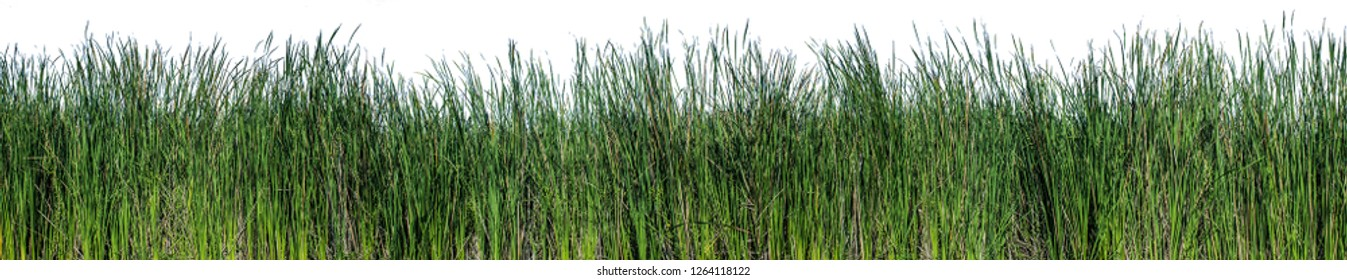 Bulrush, Cattail, Cat-tail, Elephant grass, Flag, Narrow-leaved Cat-tail, Narrowleaf cattail, Lesser reedmace, Reedmace tule , isolate on white background