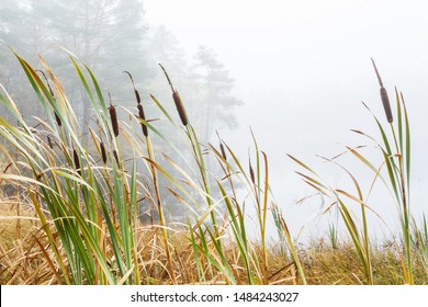 Bulrush in a wetland in fog