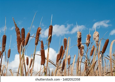 Bulrushes/cattails against a blue sky and clouds in autumn