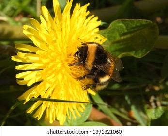 Bumbelbee on dandylion with pollen