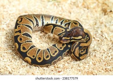 Bumble bee ball python (Python regius)