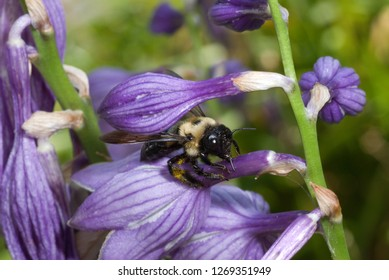 Bumble bee (Bombus sp.) stealing nectar from blossom of hosta (Hosta sp.); bee is sipping nectar through a slit that it or another bee has cut in the flower tube, rather than crawling into the flower